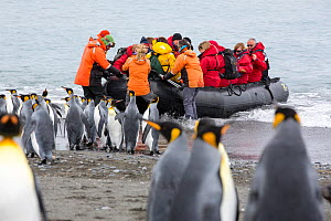 1592217 - - King penguins (Aptenodytes patagonicus) with passengers from an expedition cruise. Salisbury Plain, South Georgia. February 2014.  -  Ashley Cooper