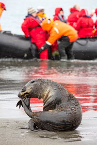 Zodiac full of passengers from an expedition cruise watching  emale Antarctic fur seal (Arctocephalus gazella) at Salisbury Plain, South Georgia, Southern Ocean.  -  Ashley Cooper