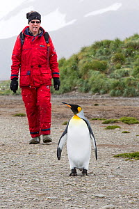 King penguin (Aptenodytes patagonicus) with passenger from an expedition cruise. Salisbury Plain, South Georgia. February 2014.  -  Ashley Cooper