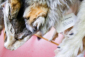 Confiscated  Canada lynx (Lynx canadensis) pelt that was hunted illegally in Alaska, USA, September 2004. - Ashley Cooper