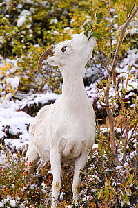 Dall's sheep (Ovis dalli) grazing on the tundra in autumn, Denali National Park, Alaska, USA, September.  -  Ashley Cooper