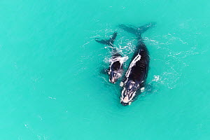 Aerial view of Southern right whale (Eubalaena australis) female with calf in shallow coastal water, South Africa, Indian Ocean. - Tony Wu