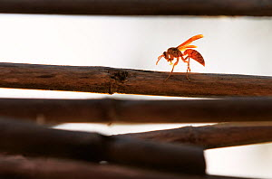 Yellow paper wasp (Polistes olivaceus) grooming itself at sunset, in between sessions of scraping the bamboo poles for material to construct a hive.Tonga.  -  Tony Wu