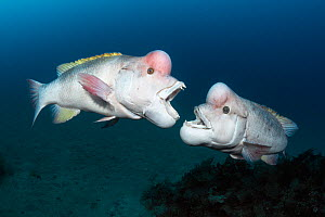 Asian sheepshead wrasse (Semicossyphus reticulatus) two mature males in breeding colouration fighting over territory.  Niigata, Japan.  -  Tony Wu