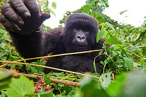 Mountain gorilla (Gorilla beringei beringei) juvenile female stretching hand out towards camera, member of the Kabirizi group, Virunga National Park, North Kivu, Democratic Republic of Congo, Africa,...  -  Eric Baccega