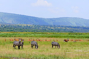 Four Burchell's zebra (Equus quagga burchellii) two with Red billed oxpeckers (Buphagus erythrorynchus) on their backs, with Antelope, mainly Impala (Aepyceros melampus) and a Warthog (Phacochoerus af...  -  Eric Baccega