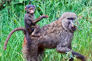 Olive baboon (Papio anubis) mother carrying baby on her back, Akagera National Park, Rwanda, Africa. - Eric Baccega