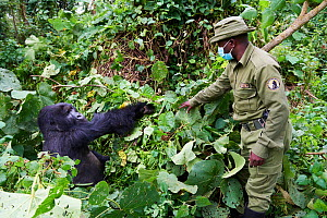 Mountain gorilla (Gorilla beringei beringei) silverback male with a guard from ICCN (Congolese Institute for the Conservation of Nature) wearing a face mask to avoid any transfer of disease, Virunga N... - Eric Baccega