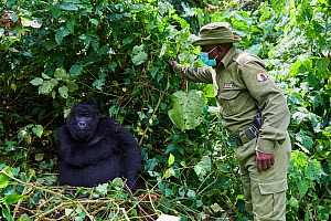 Mountain gorilla (Gorilla beringei beringei) female with a guard from ICCN (Congolese Institute for the Conservation of Nature) wearing a face mask to avoid any transfer of disease, Virunga National P... - Eric Baccega
