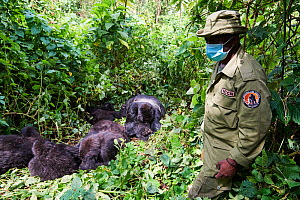 Mountain gorilla (Gorilla beringei beringei) family group sleeping with a guard from ICCN (Congolese Institute for the Conservation of Nature) wearing a face mask to avoid any transfer of disease, Vir... - Eric Baccega