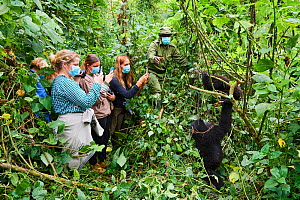 Mountain gorillas (Gorilla beringei beringei) juveniles playing watched by a group of tourists wearing face masks to avoid any transfer of disease, Virunga National Park, North Kivu, Democratic Republ... - Eric Baccega