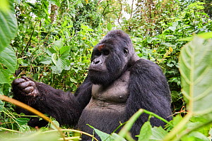Mountain gorilla (Gorilla beringei beringei) silverback male 'Humba' with a fist full of Driver ants (Dorylus sp) before feeding on them, a socially acquired and transmitted taste, Virunga National Pa... - Eric Baccega