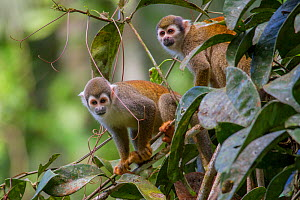 Two Common squirrel monkeys (Saimiri sciureus) amongst vegetation, Yasuni National Park, Orellana, Ecuador.  -  Lucas Bustamante