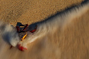 Sally lightfoot crab (Grapsus grapsus) engulfed in wave on beach, Floreana Island, Galapagos. - Lucas Bustamante