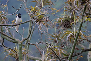 White-tailed jay (Cyanocorax mystacalis) perched on branch, Macara, Loja, Ecuador.  -  Lucas Bustamante