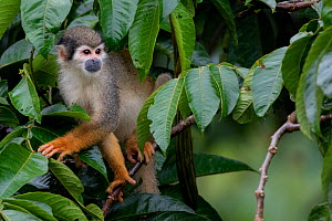 Common squirrel monkey (Saimiri sciureus) climbing along branch, Yasuni National Park, Orellana, Ecuador.  -  Lucas Bustamante
