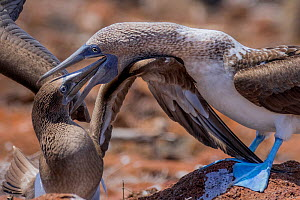 Blue footed booby (Sula nebouxii) feeding young, North Seymour Island, Galapagos.  -  Lucas Bustamante