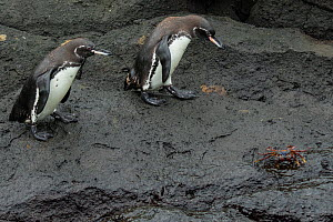 Two Galapagos penguins (Spheniscus mendiculus) walking with a Sally lightfoot crab (Grapsus grapsus) nearby, Isabela Island, Galapagos, Endangered species. - Lucas Bustamante