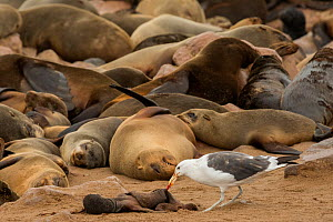 Brown fur seal (Arctocephalus pusillus) colony sleeping with Kelp gull (Larus dominicanus) feeding on carcass of dead pup, Cape Cross, Erongo, Namibia.  -  Lucas Bustamante