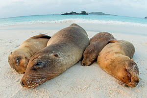 Four Galapagos sea lions (Zalophus wollebaeki) sleeping on beach, Floreana Island, Galapagos, Endangered species.  -  Lucas Bustamante