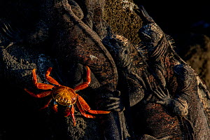 Sally lightfoot crab (Grapsus grapsus) on rock with Marine iguanas (Amblyrhynchus cristatus) resting, Floreana Island, Galapagos, Vulnerable species. - Lucas Bustamante