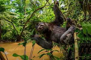 Brown throated three toed sloth (Bradypus variegatus) hanging from branch, Yasuni National Park, Orellana, Ecuador.  -  Lucas Bustamante