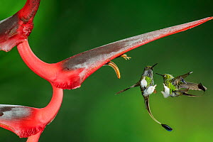 Booted racket tail (Ocreatus underwoodii) two males fighting in flight, Mindo, Pichincha, Ecuador.  -  Lucas Bustamante