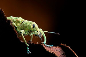 Broad nosed weevil (Compsus sp.) portrait, Yasuni National Park, Orellana, Ecuador. - Lucas Bustamante
