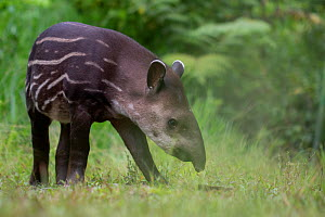 South American tapir (Tapirus terrestris) foraging, Yasuni National Park, Orellana, Ecuador, Vulnerable species. - Lucas Bustamante