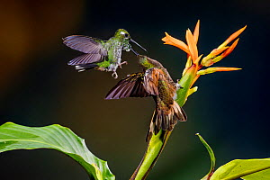 Buff-tailed coronet (Boissonneaua flavescens) and female Rufous booted racket tail (Ocreatus underwoodii addae) fighting in flight, Mashpi, Pichincha, Ecuador.  -  Lucas Bustamante