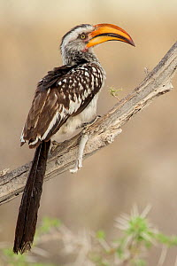 Southern yellow billed hornbill (Tockus leucomelas) perched on branch, Etosha National Park, Harare Province, Namibia.  -  Lucas Bustamante