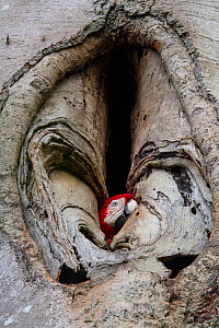 Green winged macaw / Red and green macaw (Ara chloropterus) nesting in hole in tree trunk, Tambopata, Madre de Dios, Peru.  -  Lucas Bustamante