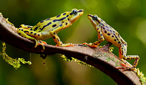 Rio pescado harlequin toad (Atelopus balios) pair on branch, female on the left, Azuay, Ecuador, Critically endangered species, possibly extinct. - Lucas Bustamante