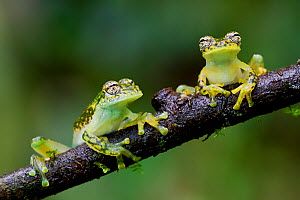 Two Yellow-flecked glass frogs / White-spotted cochran frogs (Sachatamia albomaculata) on branch, Canande, Esmeraldas, Ecuador.  -  Lucas Bustamante