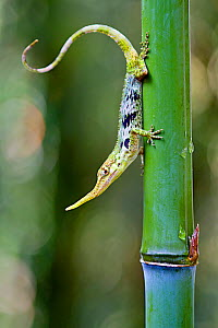 Pinocchio lizard (Anolis proboscis) male on stem, Mindo, Pichincha, Ecuador, Endangered species. - Lucas Bustamante