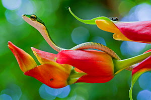 Chocoan parrot snake (Leptophis bocourti) on heliconia flower with fly in background, Sarapiqui, Heredia, Costa Rica. - Lucas Bustamante