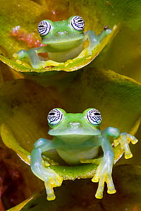 Two Limon glass frogs (Sachatamia ilex) sitting on plant, one above the other, Canande, Esmeraldas.  -  Lucas Bustamante