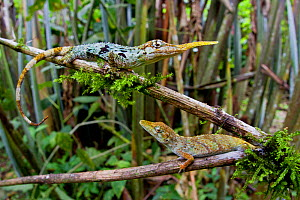 Pinocchio lizard / Ecuadorian horned anole (Anolis proboscis) pair, male on higher branch, Mindo, Pichincha, Ecuador, Endangered species.  -  Lucas Bustamante