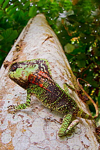 Smooth helmeted iguana (Corytophanes cristatus) on tree truck, Siquirres, Limon, Costa Rica.  -  Lucas Bustamante
