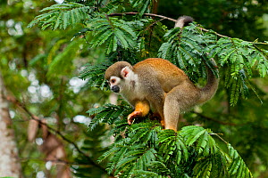 Common squirrel monkey (Saimiri sciureus) on branch, Yasuni National Park, Orellana, Ecuador.  -  Lucas Bustamante