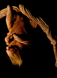 Hoffmann's two-toed sloth (Choloepus hoffmanni) hanging from branch at night, Tambopata, Madre de Dios, Peru.  -  Lucas Bustamante
