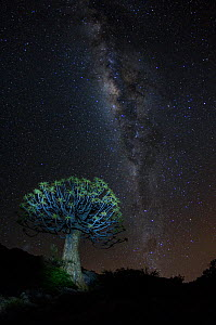 Quiver tree (Aloidendron dichotomum) at night with the milky way, Namib desert, Namibia.  -  Emanuele Biggi