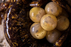 Strinatii's cave salamander (Speleomantes strinatii) eggs protected by female as they develop.  Controlled conditions. Genova, Italy, April.  -  Emanuele Biggi