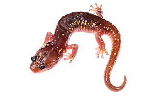 Arboreal salamander (Aneides lugubris) on white background,  California, USA.  -  Emanuele Biggi