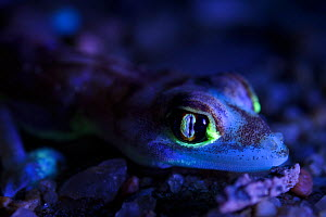 Palmated gecko (Pachydactylus rangei) with fluorescent body areas when illuminated by UV torch, Namibia  -  Emanuele Biggi