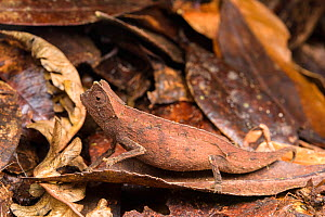 Brown leaf chameleon (Brookesia superciliaris) camouflaged in leaf litter, Madagascar - Emanuele Biggi