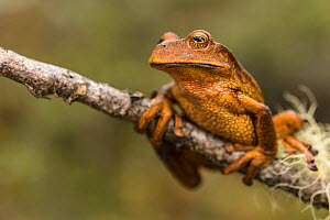 Marsupial frog (Gastrotheca sp) new species found while working  with researchers in the Cosnipata Valley, Peru  -  Emanuele Biggi