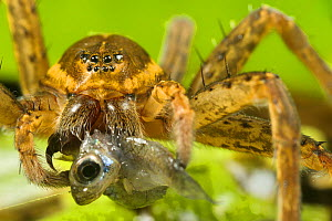 Great Fen / Raft spider (Dolomedes plantarius), adult female eating an invasive species of fish, Western mosquitofish, (Gambusia affinis), Alessandria, Italy, August. - Emanuele Biggi