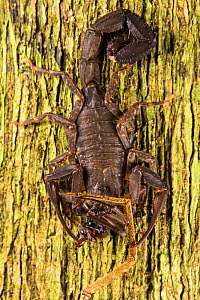 Scorpion (Tityius cf. aesthnes) eating pieces of two different spider species, Los Amigos Biological Station, Peru  -  Emanuele Biggi