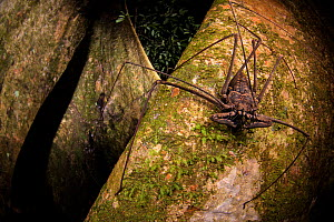 Whip scorpion (Heterophrynus elephas) hunting for food on a large tree root of the rainforest. Los Amigos Biological Station, Peru. Highly commended in the GDT European Wildlife Photographer of the Ye...  -  Emanuele Biggi